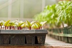 seedling in tray