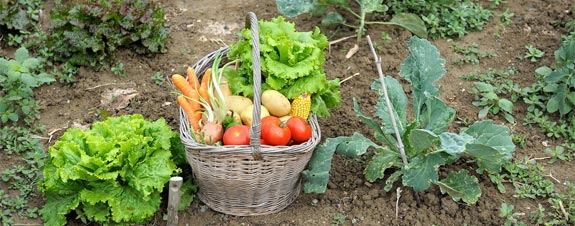garden-vegetable-basket