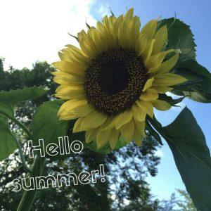 summer sunflower