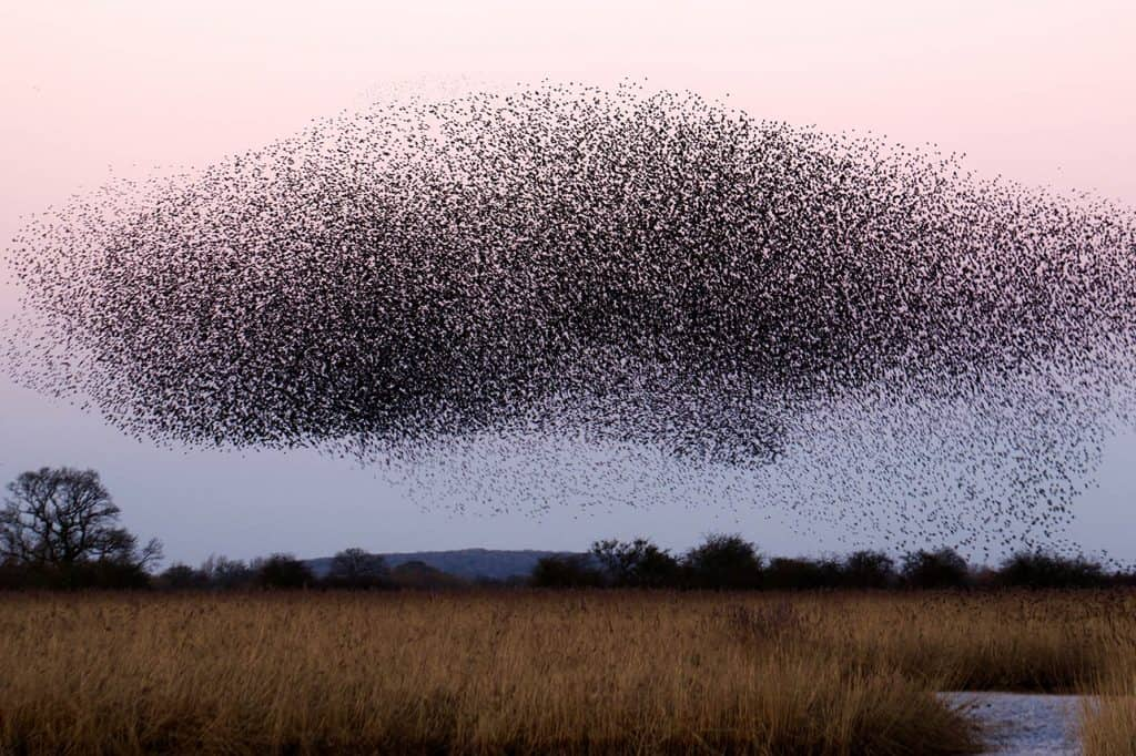 murmuration of birds in late afternoon sky over a field