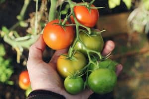 close-up of fresh tomatoes in someone's hand