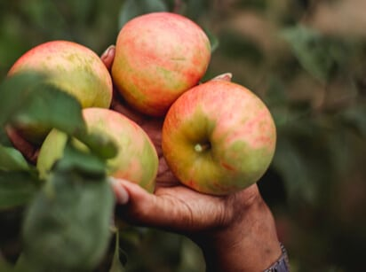 close-up on apples being picked